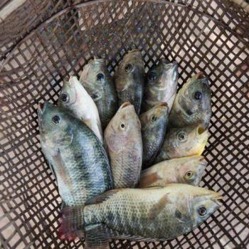 Edible fishes at Golden Fins Aqua and Pet store in Muvattupuzha